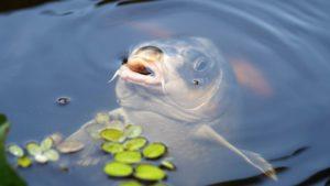 pêche de la carpe carpodrome